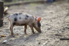 Small young funny dirty pink and black pig piglet standing outdoors on sunny farmyard. Sow farming, natural food production.  royalty free stock photography