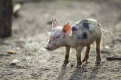 Small young funny dirty pink and black pig piglet standing outdoors on sunny farmyard. Sow farming, natural food production.  royalty free stock photo