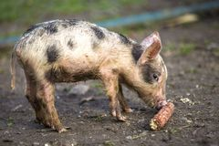 Small young funny dirty pink and black pig piglet standing outdoors on sunny farmyard. Sow farming, natural food production.  stock photo
