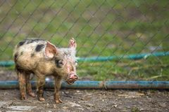 Small young funny dirty pink and black pig piglet standing outdoors on sunny farmyard. Sow farming, natural food production.  stock photos