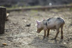 Small young funny dirty pink and black pig piglet standing outdoors on sunny farmyard. Sow farming, natural food production.  royalty free stock photos