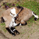 Small young goat Royalty Free Stock Photo