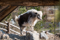 Small and young goat standing on a rock. A small and young goat standing on a rock Royalty Free Stock Photography