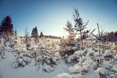 Small green firs covered with snow and frost on a cold sunny day. fish eye distortion. Small young green firs covered with snow and frost on a cold sunny day stock photography