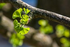 Young leaves  on a twig of gingko tree in springtime sun. Small young green leaves on a twig of a gingko tree on a sunny springtime day with blurred dark Royalty Free Stock Image
