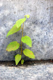 Small young green plant grows on the stone wall Royalty Free Stock Image