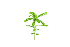 Small young green plant on white background Royalty Free Stock Images