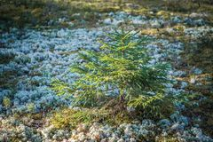 Small young green spruce in the early spring wood. Close up stock image