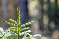 Small young green spruce of a pine tree plant on forest background. Love to nature and environment protection concept. Small young green spruce of a pine tree Royalty Free Stock Photos