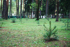 Small young green spruce pine tree plant needle stump forest woods moss background.  Stock Photo