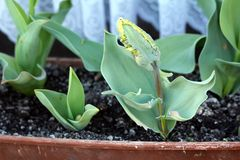 Small young jagged tulip plants with dark to light green fully closed tepals with yellow edges surrounded with pointy elongated. Small young jagged tulip plants royalty free stock images