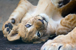 Small young lion Royalty Free Stock Photography