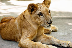 Small young lion Stock Photography