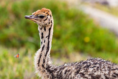Small young ostrich walking in grassland Stock Image