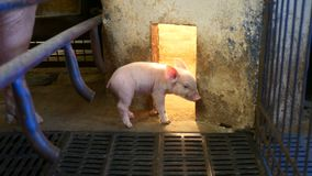 Piglet in pigpen. Small young piglet in pigpen with heat lamp stock footage