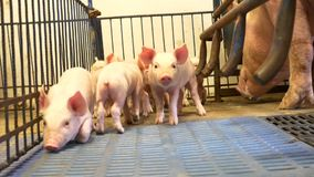 Piglet in pigpen. Small young piglets in pigpen near the mother pig stock video footage