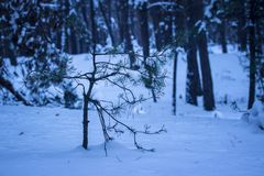 Small young pine grows in the snow against the background of tall tree trunks. Mysterious atmosphere in the evening winter forest nobody around Royalty Free Stock Photos