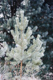 Small and young pine tree in the snow Royalty Free Stock Photos