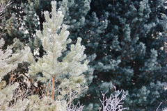 Small and young pine tree in the snow Royalty Free Stock Photography