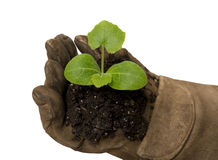 Small Young Plant Cupped In Gloved Hand XXXL Isolated Royalty Free Stock Photo