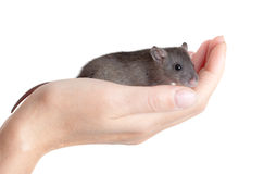 Small young rat on a palm. Very small young rat on a palm, isolated Stock Photos