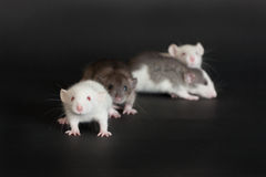 Small young rats. Very small young rats on a black background Stock Photography