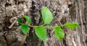 Small young sprout of elm tree on old bark in spring stock footage