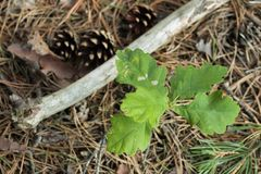 Small young sprout of oak royalty free stock images
