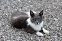 Small young white and grey cute domestic cat resting on gravel in backyard and looking curiously directly to camera royalty free stock photo