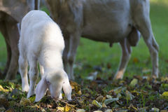 Small young white lamb graze at fall meadow Royalty Free Stock Image