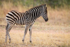 Small zebra foal standing with ox-pecker on his back Royalty Free Stock Photo