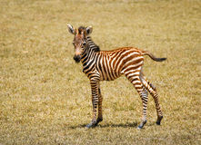 Small zebra Royalty Free Stock Photography