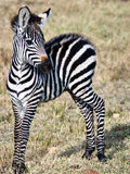 Small zebra standing on the grass Royalty Free Stock Images