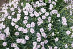 Smalle grijs-greenbladeren en roze bloemen van dianthus stock foto's