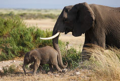 Smallelephant with mather in Amboseli National park royalty free stock photo