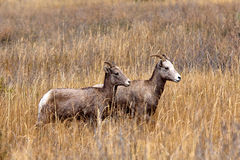 Smaller bighorn sheep. Royalty Free Stock Photo