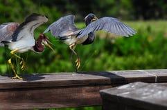 Smaller Bird Chasing Larger Bird Royalty Free Stock Photos