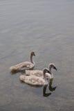 Smaller Mute Swan (Cygnus olor) Stock Images