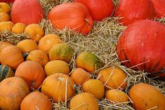 Smaller orange and giant red pumpkins Cucurbita Pepo placed on hay covered floor after harvest. Stock Photo