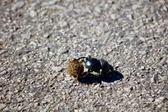 Smaller Rolling Dung Beetle Royalty Free Stock Image