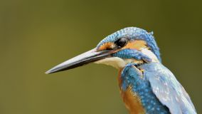 Common blue kingfisher close up royalty free stock photos