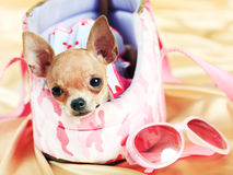 The smallest breed of dog Royalty Free Stock Photography