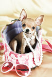 The smallest breed of dog Royalty Free Stock Image