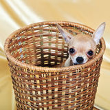 The smallest breed of dog Stock Images