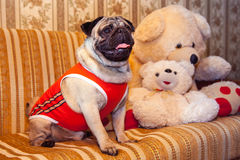 The smallest breed of dog in clothes. The smallest breed of dog Royalty Free Stock Image