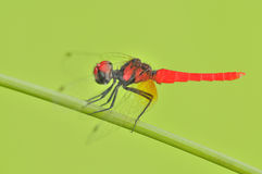 Smallest damselfly in the world. In the parks Stock Photos