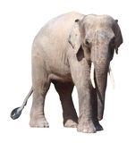 The smallest elephant,precious Borneo pygmy elephant on white background Stock Images