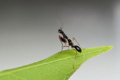 Smallest Mantis. A very small mantis about 5cm royalty free stock photos