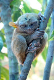 Smallest monkey. Tarsier. World's smallest cute monkey. The tarsier from from Bohol, Philippiness Royalty Free Stock Images