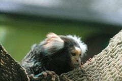 The smallest monkey in the world Picture taken March 19, 2010 . royalty free stock images
